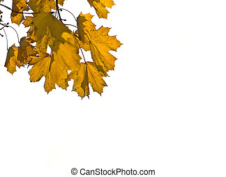 Yellow Maple leaves over white