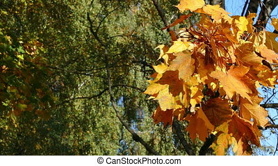 Autumn yellow maple leaves with blured green in the background