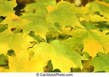 Autumn Yellow Maple