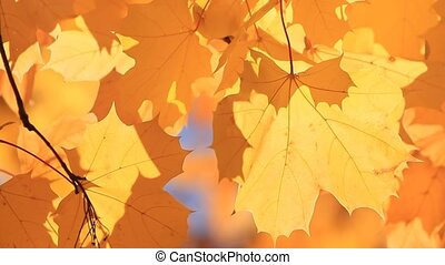 Autumn yellow maple tree closeup background