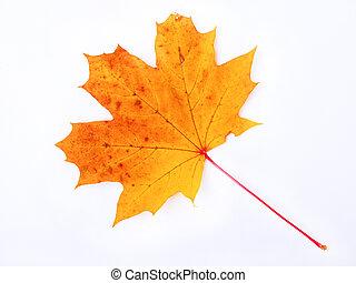 Autumn yellow-orange maple leaf on a white background, symbol of Canada