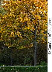Autumn yellow-red maple on a background of green willow