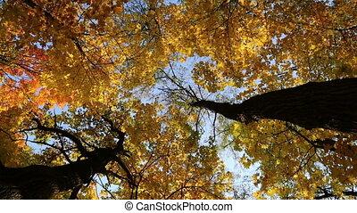 autumn yellow tree tops - slider dolly shot