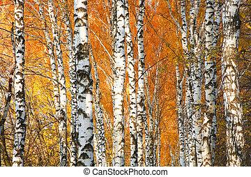 Autumn yellowed birch forest