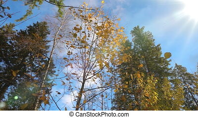 autumn yellowed leaves fall from a tree in sunny weather,...