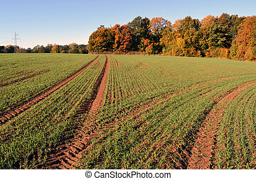 Autumn young wheat  field with tractor tracks