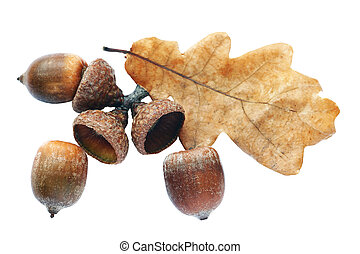 Autumnal acorn in increase on white background