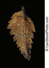 Autumnal alder leaf