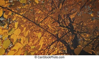Autumnal aspen tree is covered with yellow golden leaves looking up and turning shot.