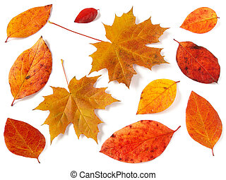 autumnal collection - bright autumnal leaves on white...