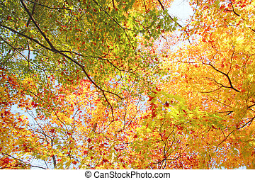 Autumnal colored leaves, maple