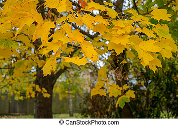 Autumnal colours of a Maple tree in East Grinstead