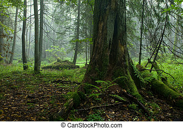 Autumnal deciduous stand of Bialowieza Forest
