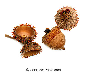 Autumnal dry acorns from oak isolated on white background