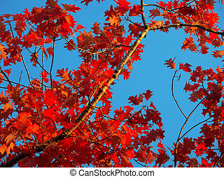 Autumnal foliage - Bright red autumnal leaves over a blue...