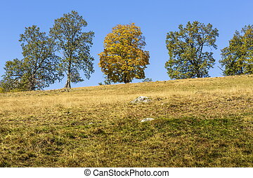 Peaceful autumnal landscape with yellow canopy maple tree uphill over clear blue sky.