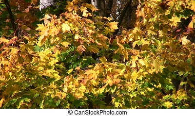 autumnal leaves - Bright autumnal leaves.