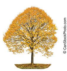 Autumnal linden tree isolated on white background