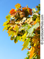 Autumnal maple leaves in blurred background, sunlight