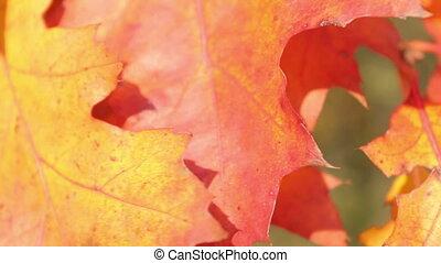 Autumnal maple leaves