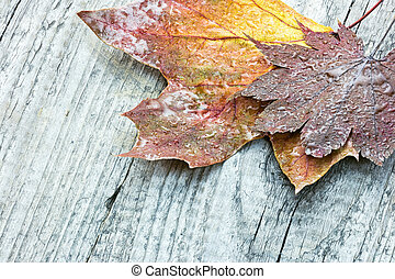 autumnal maple leaves with raindrops on wooden boards background