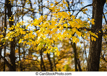 Autumnal nature concept with yellow acer leaves