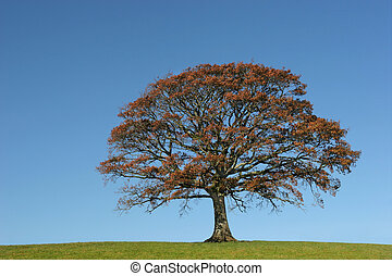 Oak tree in Autumn in a field, set against on clear blue sky.