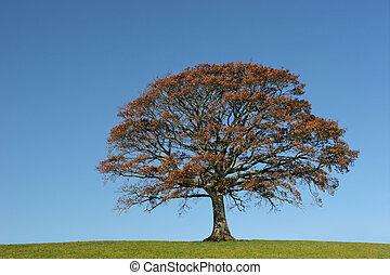 Autumnal Oak - Oak tree in Autumn in a field, set against on...