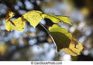 Autumnal Oak tree in the sunshine