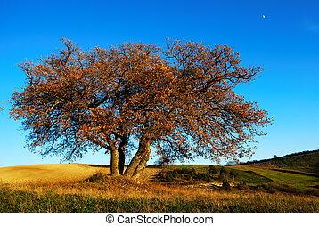 Autumnal oak tree