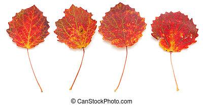 autumnal stilllife with aspen leaves