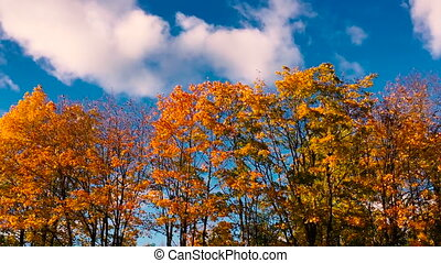 Autumnal timelapse. Autumn tree on a background of blue sky with clouds.