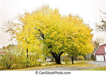 autumnal tree, Maine, USA