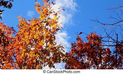 Autumnal trees and blue sky