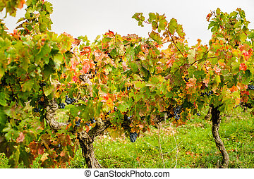 Autumnal vineyard, Provence, France