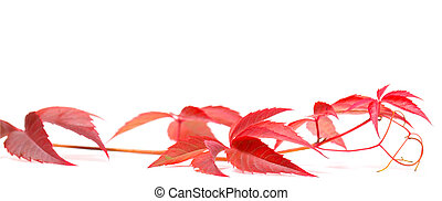 Autumnal Virginia creeper on white