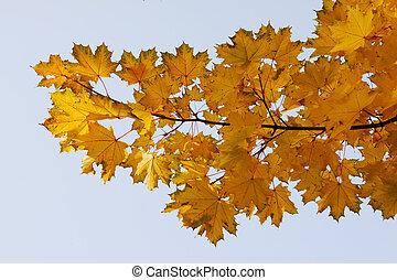 maple leaves on sky