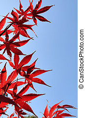 Autumnfall red leaves