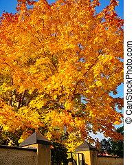 autunno, acero, albero, in, cadere, parco città