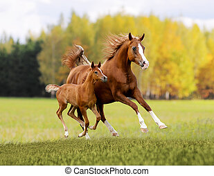 autunno, cavallo, arabo, fondo, libero