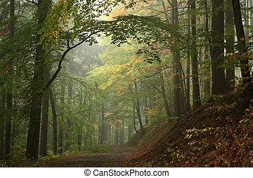 autunno, faggio, foresta, in, il, nebbia