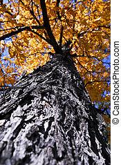 autunno, grande, parco, albero, cadere