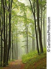 autunno, nebbioso, faggio, foresta