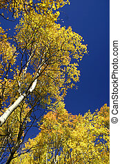 autunno, pioppi tremoli