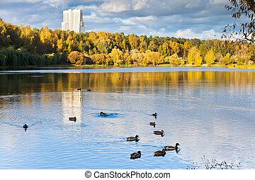 autunno, urbano, stagno, giorno, anatre