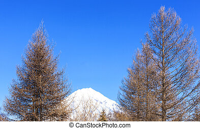 Avachinsky volcano on the Kamchatka peninsula and fir in the winter.