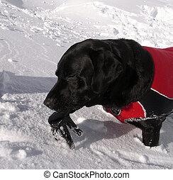 avalanche, cão, com, luva