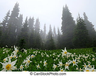 Avalanche Lilies in the Fog