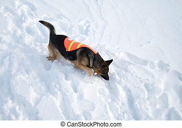 Avalanche Rescue Dog Uses Nose to Search - If you are buried...