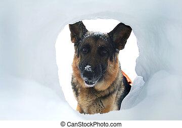 avalanche, salvamento, cão, achados, um, sobrevivente